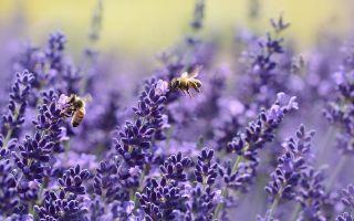 Лаванда: полезные свойства растения и его применение