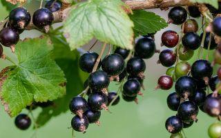 Черная смородина. Полезные свойства ее ягод.