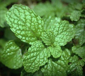 мята перечная фото растение