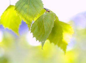 березовые листья от отеков