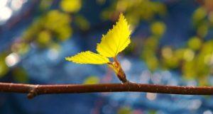 березовые листья фото