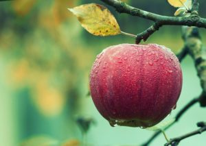 яблоко на ветке фото