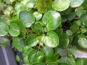водяной кресс листья